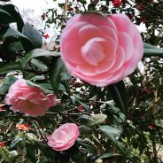 Be a Camellia